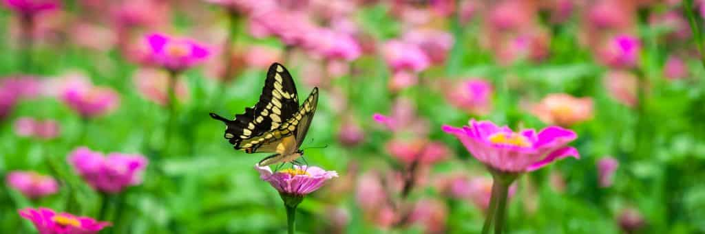 landscaping flowers that attract butterflies